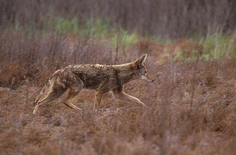 Coyote. © U.S Fish and Wildlife service - domaine public