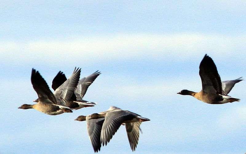 Oies à bec court en vol groupé. © Andy Hawkins, Wikipédia, cc by sa 2.0