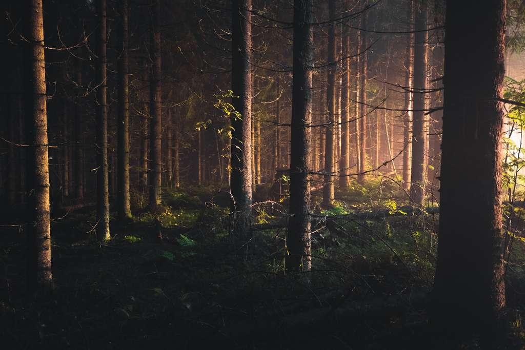 Plus sombres, les forêts de conifères diminuent l'albédo et annulent le gain de la baisse de température de la séquestration de CO2. © IIilo Isotalo, Unsplash
