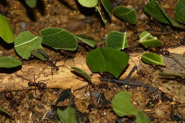 Fourmi champignonniste Atta colombica. © Brian Gratwicke / Flickr - Licence Creative Common (by-nc-sa 2.0)