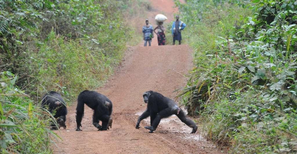 En Guinée, Hommes et chimpanzés partagent le même territoire. © Nicolas Granier, Biotope et Les chimpanzés de Bossou et Nimba, Green Corridor Charity