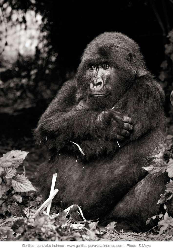 Femelle gorille perdue dans ses pensées