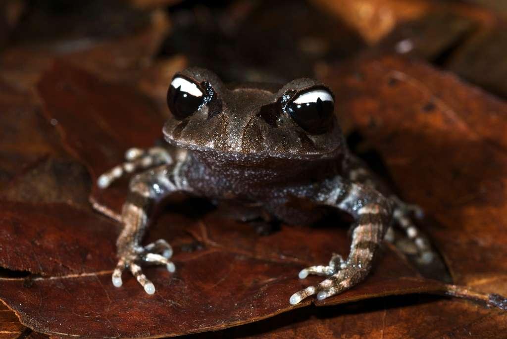 La grenouille yin-yang (Leptobrachium leucops) est une des cinq nouvelles espèces d'amphibiens découvertes dans la région en 2011. © Jodi L. J. Rowley, Australian Museum