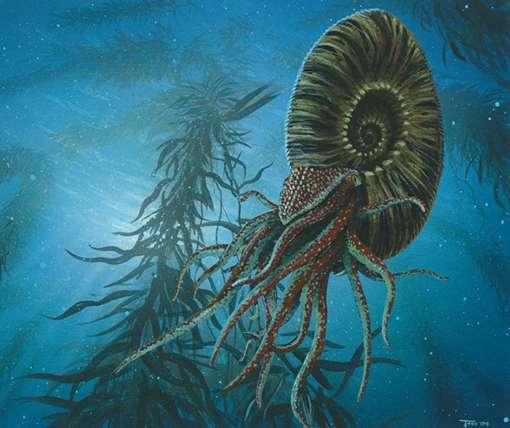 L'ammonite disparaît à la fin du Crétacé. © DR