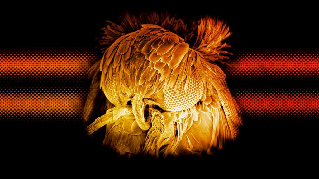 Un papillon glacillaride observé au microscope électronique