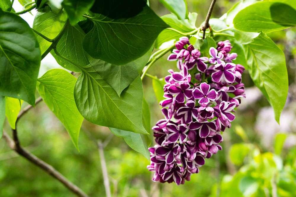 Une fleur très originale de lilas. © Samuel Stone, Pixabay, DP