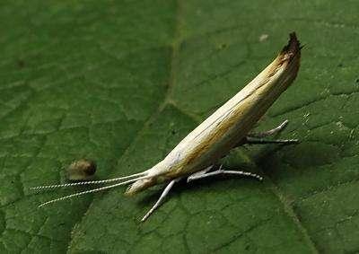 Un Ypsolopha blandella se reposant tranquillement sur une feuille. © Yu. Semeikin, cc by sa 3.0