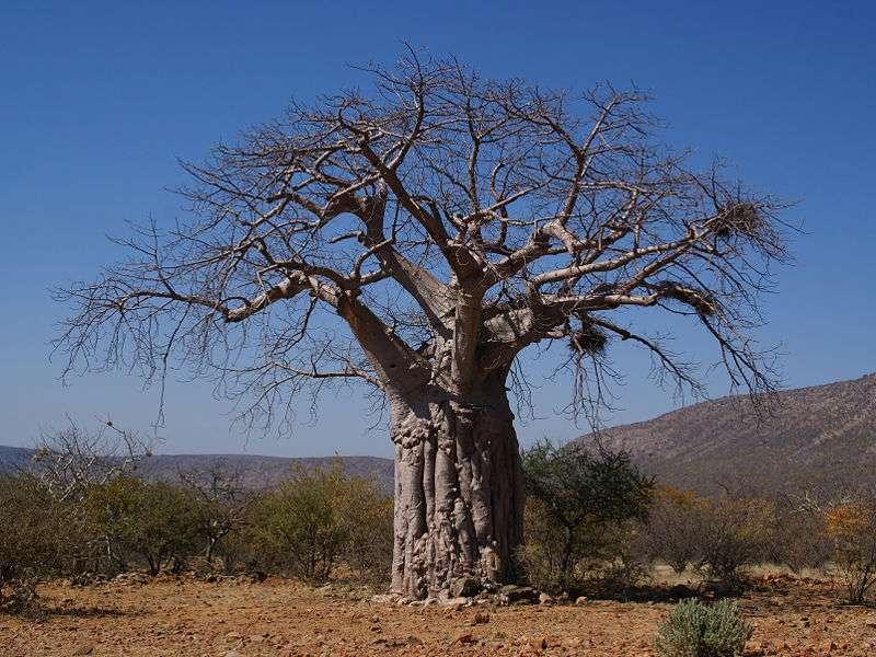 Un baobab africain (ou Adansonia digitata) en Namibie