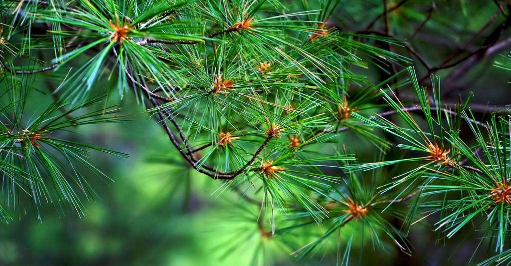 Pinus strobus. © Johndan Johnson-Eilola - CC BY 2.0