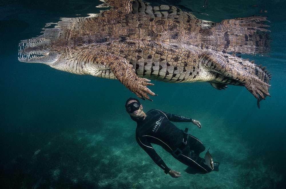 Voilà le genre de rencontre que mon ami Pierre Frolla et moi attendions avec impatience à Cuba. Cet impressionnant crocodile de mer vit dans les mangroves qui sont des réserves écologiques menacées et offrent un abri aux mammifères et aux reptiles. Espérons qu'avec la protection de leurs habitats, nous pourrons encore voir ces reptiles nager en toute liberté. © Greg Lecoeur, tous droits réservés