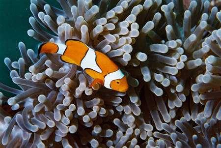 Les larves des poissons clown sont capables de repérer les anémones dans lesquelles ils vivent à plusieurs mètres de distance. © : S. Planes