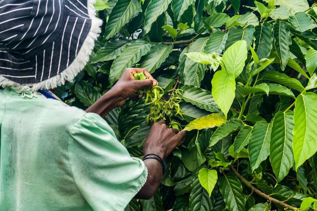 L'ylang-ylang est un arbre à croissance et à maturité très rapides. Il peut vivre jusqu'à 50 ans. © Pierre-Yves Babelon, Fotolia