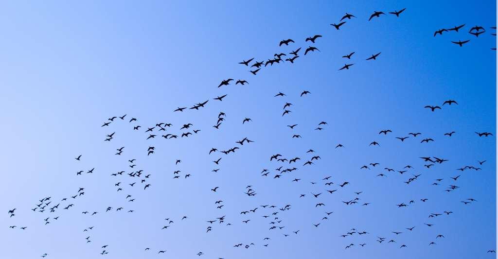 Selon Niels Rattenborg (Allemagne) – qui a découvert en 2016 que les oiseaux migrateurs peuvent dormir tout en volant –, les travaux de l'équipe de l'Imperial College London (Royaume-Uni) sont «très excitants». © miket, Fotolia