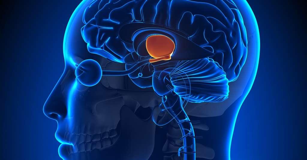 Les cellules nerveuses qui contrôlent l'horloge biologique se trouvent dans l'hypothalamus, au niveau des noyaux suprachiasmatiques. © decade3d, anatomy online, Shutterstock