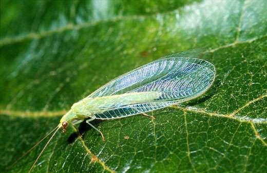 Chrysope (Névroptère) dont les larves sont de redoutables prédateurs. © Photo J. Gambier/INRA.. - Toute reproduction et exploitation interdites