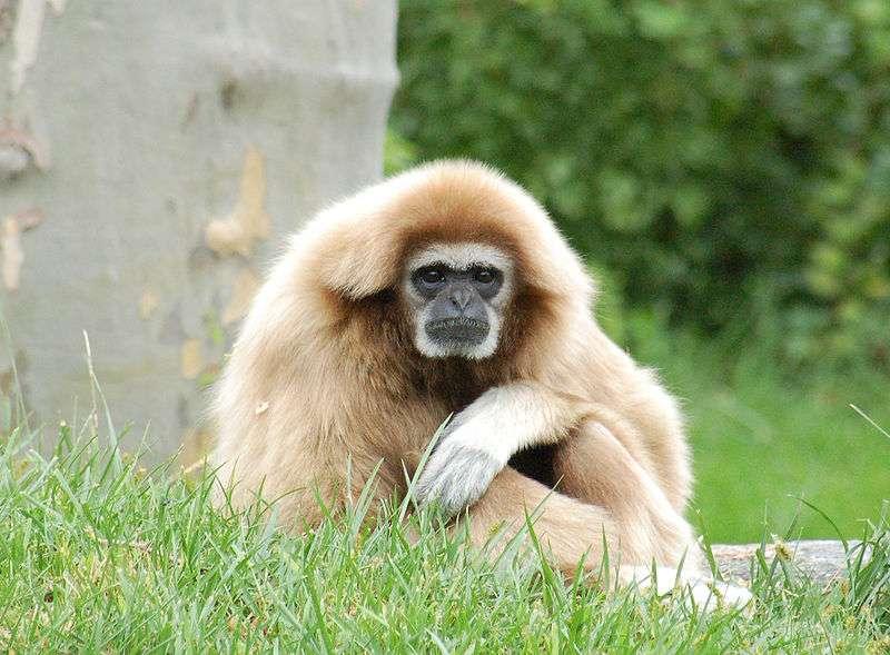 Gibbon à mains blanches (Hylobates lar) assis dans l'herbe. © Derek Ramsey, CC by 2.5