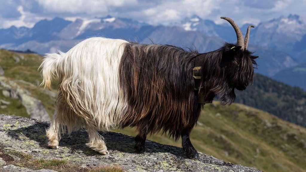 Une chèvre protégée