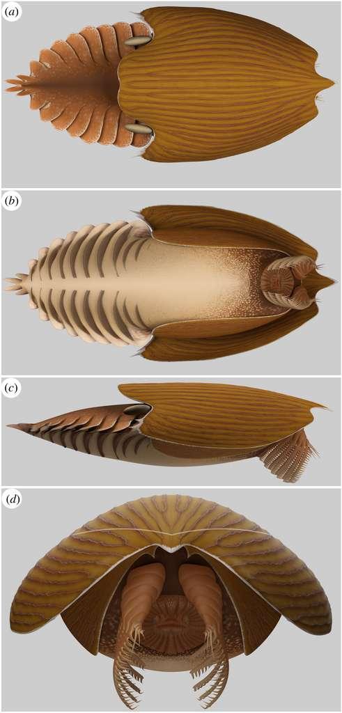 Reconstruction de Titanokorys gainesi. De haut en bas : vues dorsale, ventrale, latérale et frontale. © illustration de Lars Fields, Caron and Moysiuk, 2021