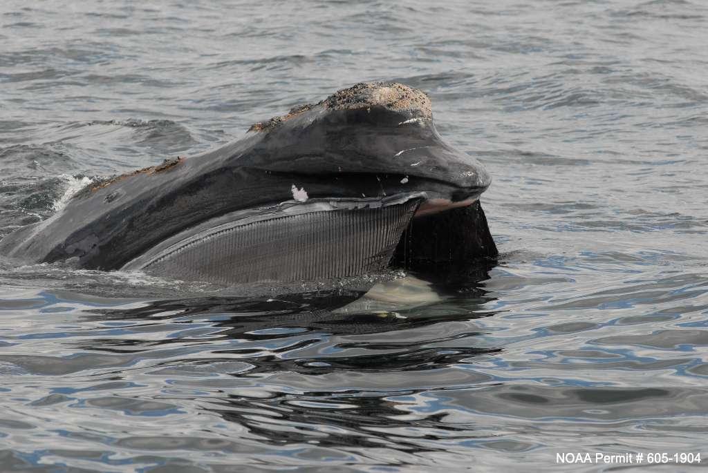 Les baleines franches de l'Atlantique nord ont un poids moyen de 55 tonnes. Elles nagent à une vitesse de 2 à 4 km par heure en mangeant, 5 à 11 km par heure en migrant et 16 à 20 km par heure lors qu'elle fuient un danger. Elles se nourrissent grâce à 246 paires de fanons. © Stellwagen Bank National Marine Sanctuary Web Group