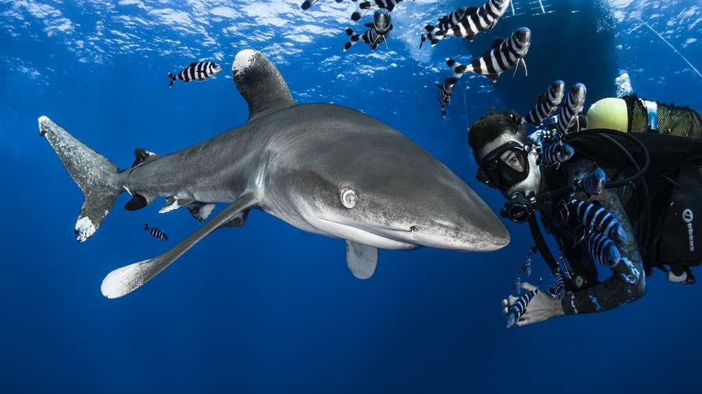 Les requins-océaniques (Carcharhinus longimanus) sont les requins avec lesquels Steven a le plus plongé. Autrefois très répandus dans toutes les mers du monde, ils sont aujourd'hui en danger critique d'extinction. Ils ont la mauvaise réputation d'être connus comme «le requin des naufragés», ils sont curieux et redoutés par bon nombre de plongeurs. Le meilleur endroit au monde pour les observer est en Égypte, sur les îles Brothers. © Greg Lecoeur, Tous droits réservés