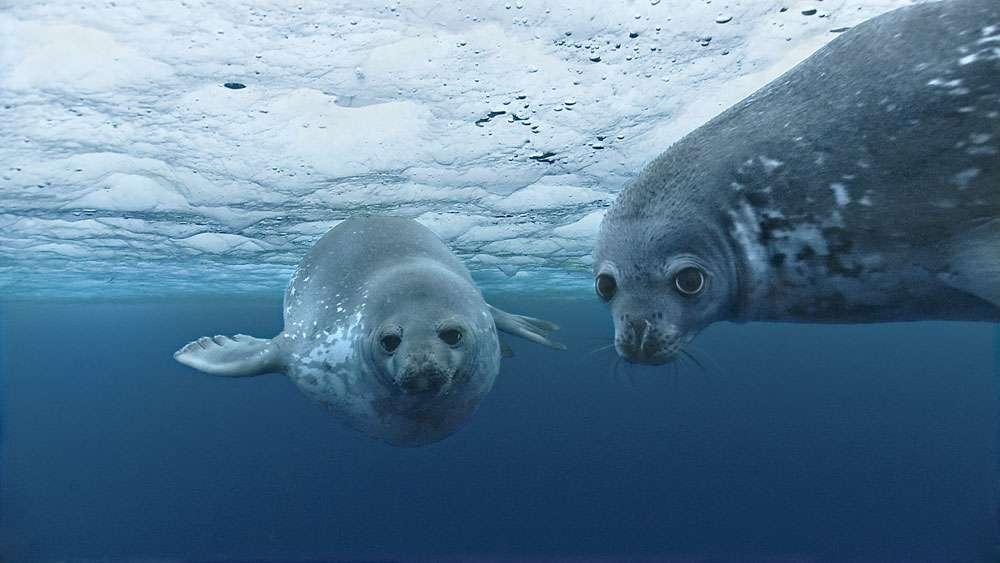 Le phoque de Weddell et ses trous de respiration dans la glace