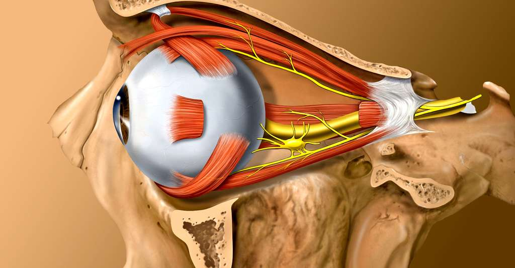 Anatomie de l'œil. © Patrick J. Lynch, medical illustrator, Wikimedia commons, CC by 2.5