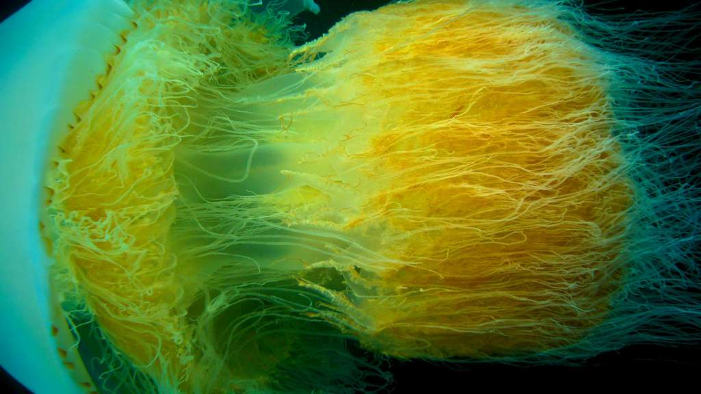 Nemopilema nomurai, une méduse géante