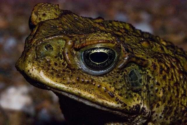 Le crapaud buffle, importé pour lutter contre un coléoptère ravageur, est devenu invasif. © Rob's lensonlife, Flickr, cc by nc nd 2.0