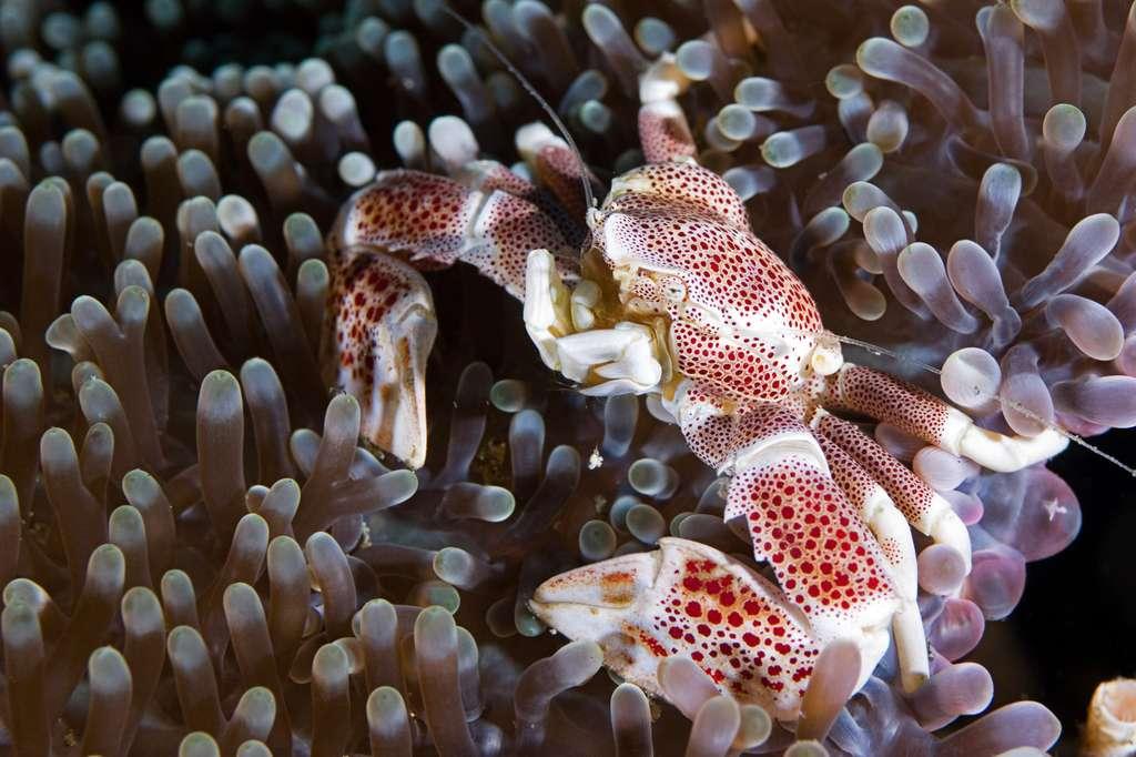 Crabe porcelaine anémone. © volkan, Fotolia