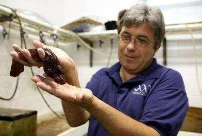 Leonid Moroz, en compagnie d'une aplysie (Aplysia californica), gastéropode fétiche de la neurobiologie. Crédit : Sarah Kiewel/UF HSC News