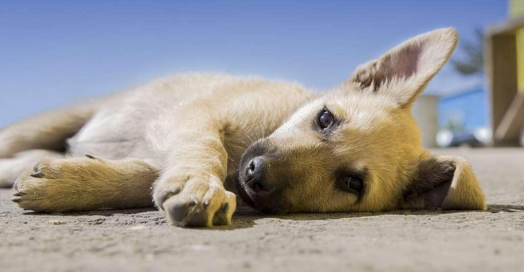 Comme chez l'être humain, il faut être particulièrement vigilant avec les chiots/chatons, les vieux chiens/chats, les chiens/chats brachycéphales ou les chiens/chats malades ou en surpoids. © Free-Photos, Pixabay License