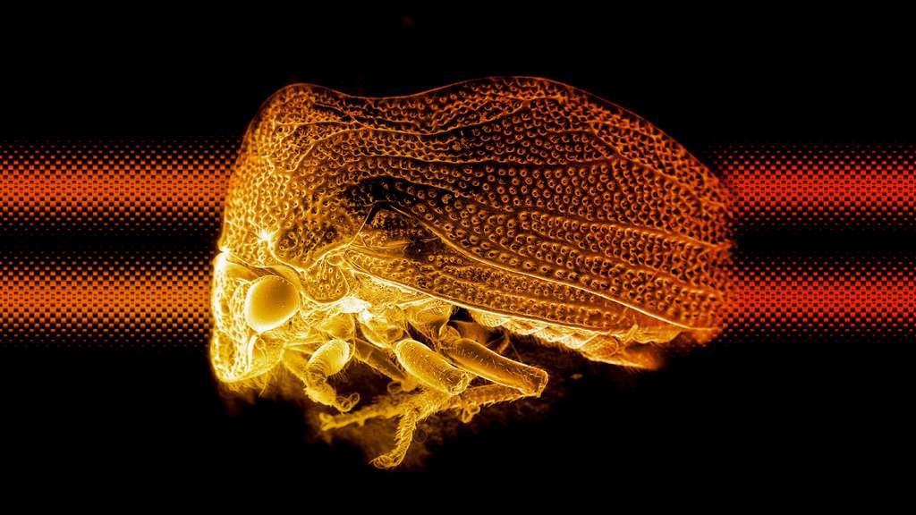 L'étrange membracide bossu observé au microscope électronique