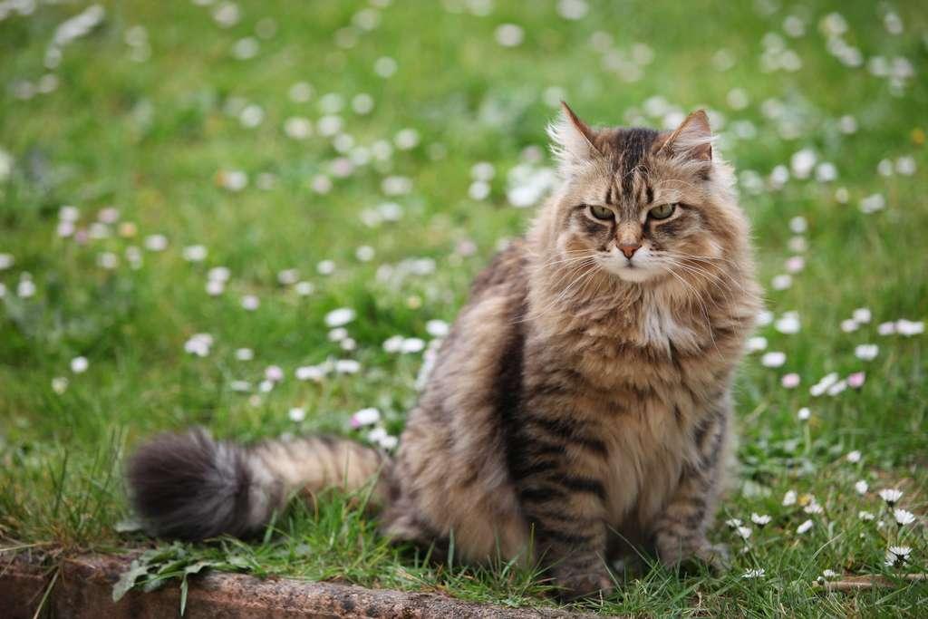 De tous les chats hypoallergéniques, le chat sibérien est la race qui produit le moins d'allergènes. © Tristan Nitot, Flickr