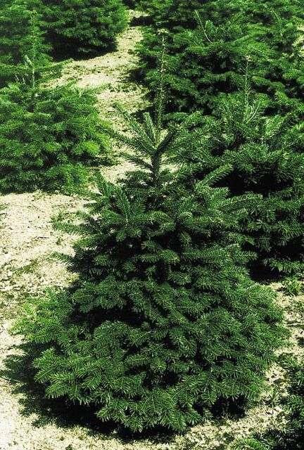 Offrez une seconde vie à votre sapin de Noël en le replantant après les fêtes ! © AFSNN