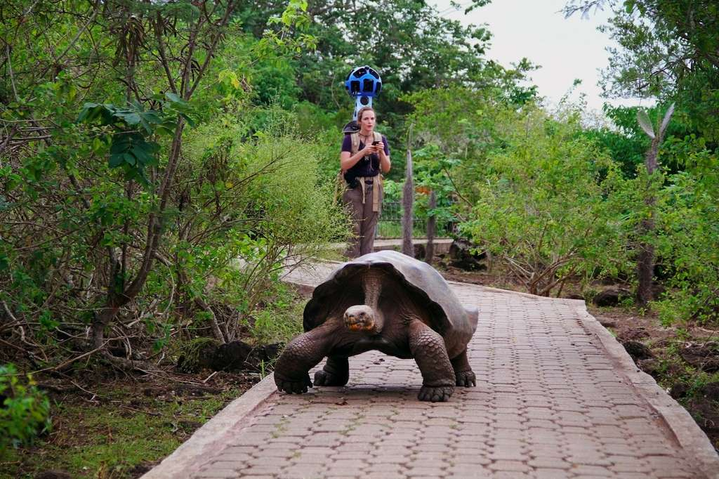 Une tortue géante des Galápagos se trouve sur le chemin de la « Googleuse » Karin Tuxen-Bettman, tandis qu'elle recueille des images avec le Street View Trekker. © Google