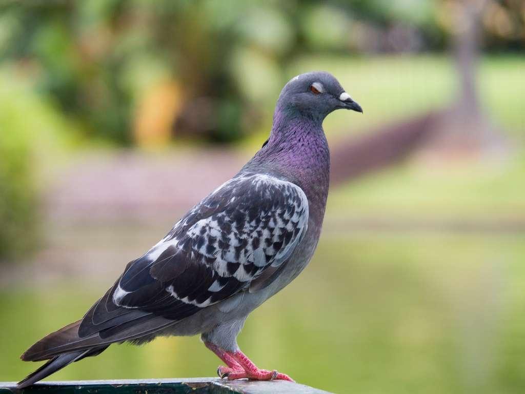 Le pigeon a été très étudié pour sa capacité à s'orienter en fonction du champ magnétique terrestre. © Marie-Beatrice Rich, Fotolia