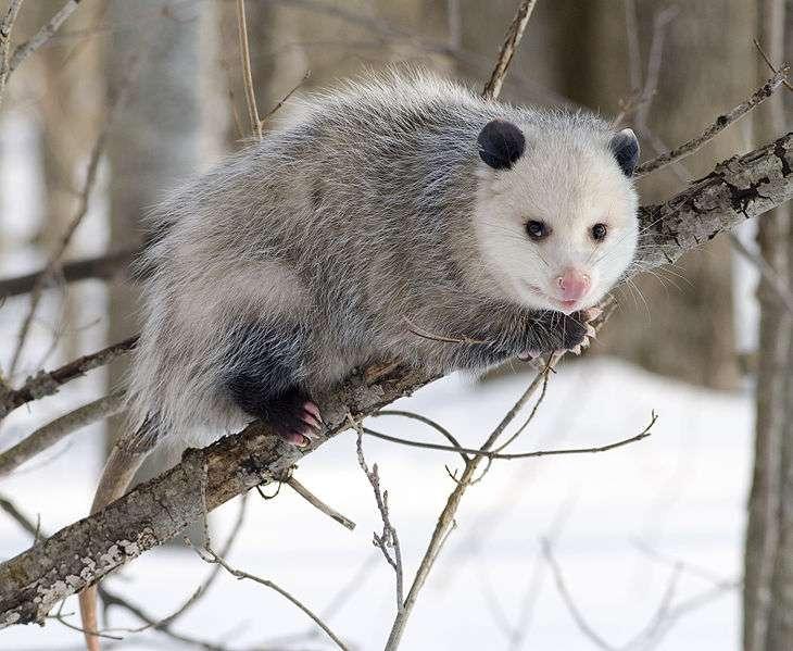 L'opossum est une espèce tampon pour la maladie de Lyme. © Cody Cope, Wikimedia, CC by-sa 2.5