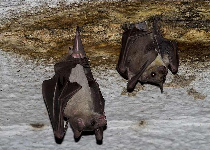 Le nouveau virus Měnglà a été détecté chez la roussette qui constitue le réservoir principal des filovirus. © Rajesh Puttaswamaiah, Bat Conservation India Trust