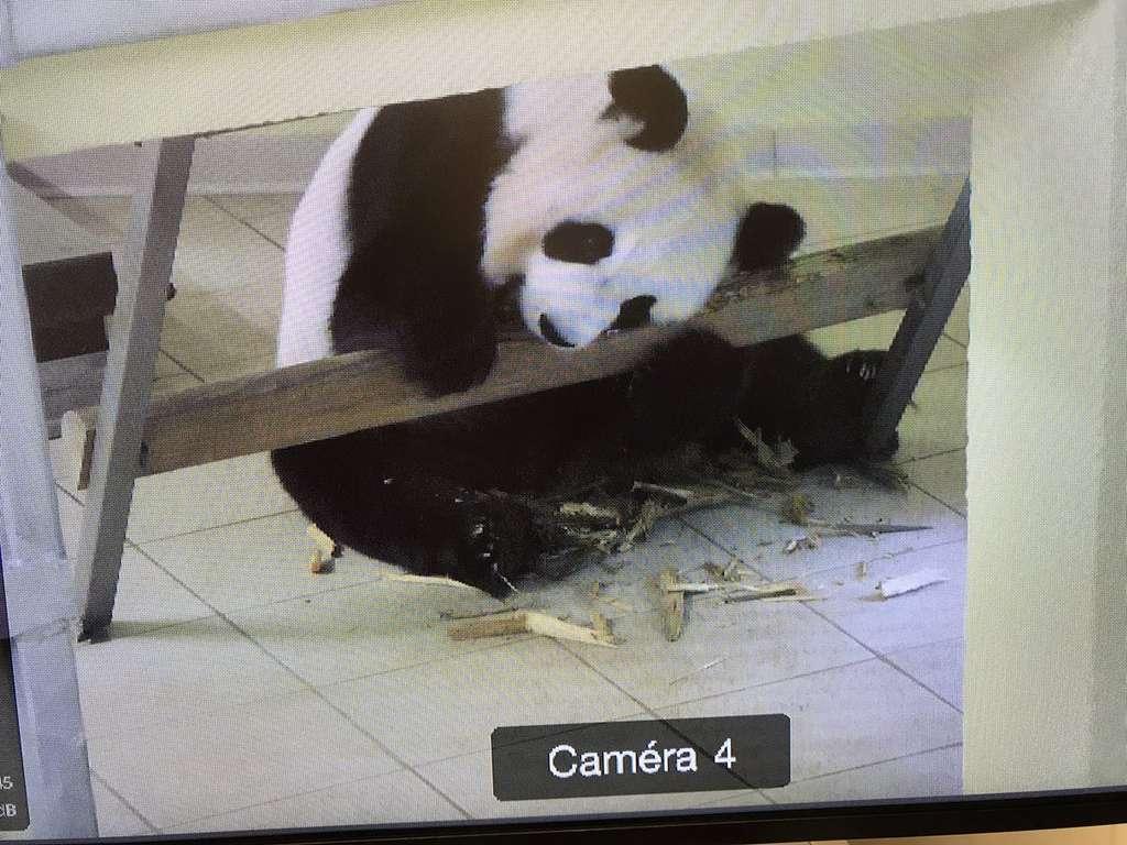 Une image de Huan Huan enregistrée à 11 h 29 le vendredi 4 août et transmise sur Twitter par le zoo de Beauval. La femelle, explique le commentaire, est en train de déchiqueter du bambou pour préparer le nid qui accueillera ses petits. © ZooParc de Beauval, via Twitter