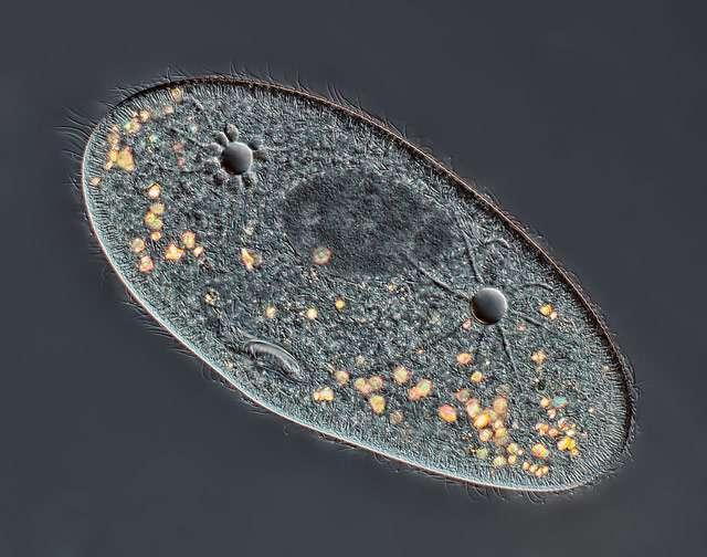 Les paramécies sont des êtres eucaryotes unicellulaires qui vivent en eau douce. Le noyau de celle-ci correspond à la zone sombre située entre les vacuoles pulsatiles (les deux « trous »). © Rogelio Moreno Gill