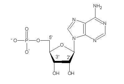 Figure 2. Chaque nucléotide se compose d'un groupe phosphate, d'un sucre et d'une base hétérocyclique. © DR