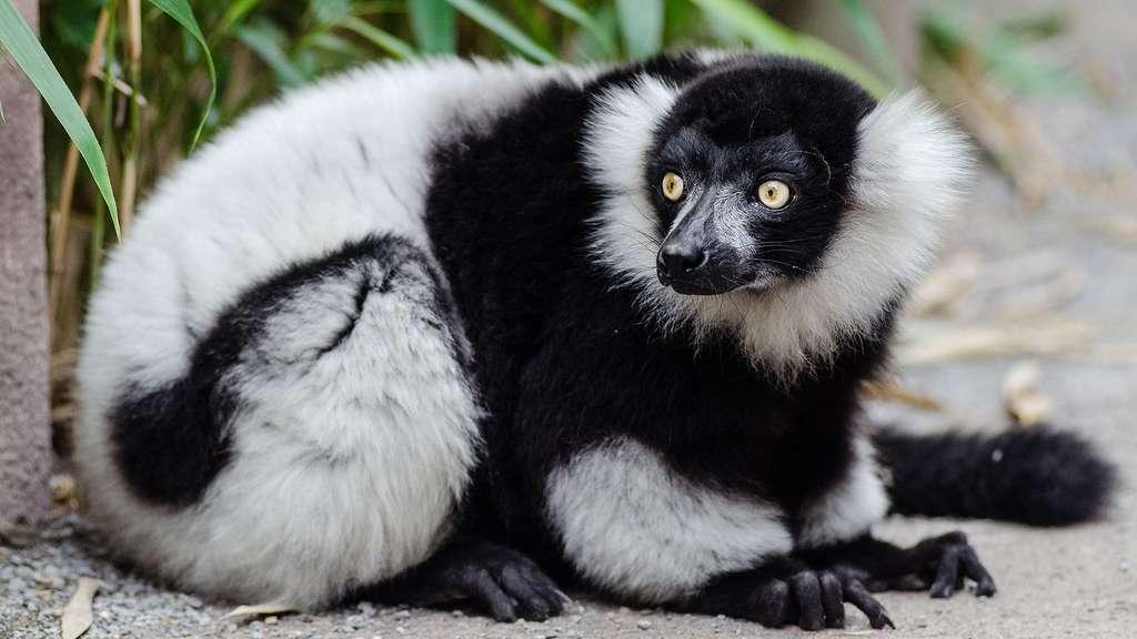 Un lémurien en danger d'extinction