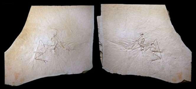 Une plaque de calcaire lithographique montrant un fossile d'archéoptéryx. © Mick Ellison & AMNH