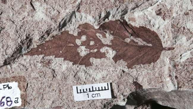 Une feuille fossilisée trouvée en Patagonie, dans l'extrême sud de l'Argentine, qui a visiblement bien nourri une larve d'insecte. Le festin s'est passé entre -67 et -66 millions d'années, la période analysée dans cette étude. © Michael Donovan