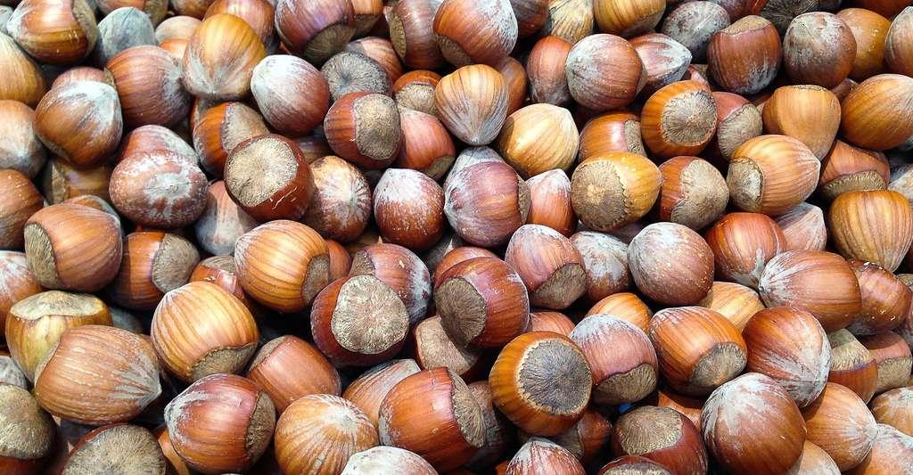 Le noisetier : taille et feuilles. Ici, de belles noisettes à dévorer. © JackMac34, Pixabay, DP