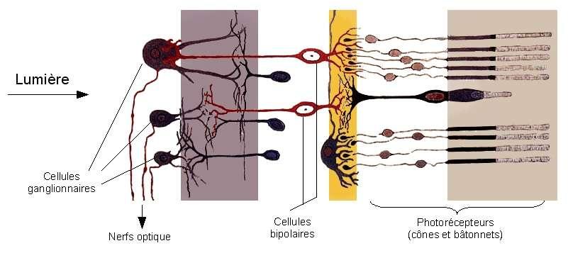 Structure cellulaire de la rétine. © S. R. Y. CAJAL, Histologie Du Système Nerveux de l'Homme et Des Vertébrés, Maloine, Paris, Wikimedia Commons