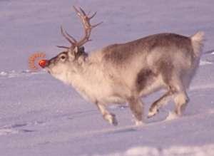 Rudolphe est le renne au nez rouge, neuvième du traîneau du père Noël. La lumière produite par ses naseaux guide le groupe durant la distribution des cadeaux. © Lomvi, Wikipédia, GNU 1.2
