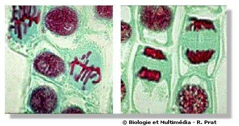 Figures 21 et 22 - Division cellulaire ou mitose. Deux images de cellules végétales en division dans des cellules jeunes de racine de jacinthe. On observe des métaphases (à gauche) et des fins d'anaphase (à droite). Dans ces dernières, entre les deux lots de chromosomes migrants aux pôles de la cellule, on observe le fuseau et au centre une fine ligne horizontale qui correspond à la formation de la nouvelle paroi qui séparera les deux cellules. C'est à ce niveau que se forment les plasmodesmes.