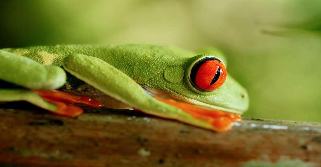 La rainette aux yeux rouges (Agalychnis callidryas). © Hans Hillewaert, Wikimedia commons, CC by-sa 4.0