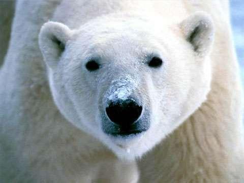 Ours blanc. © Tous droits réservés